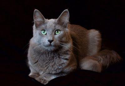 Silverblue Goblin Nebelung Katzen