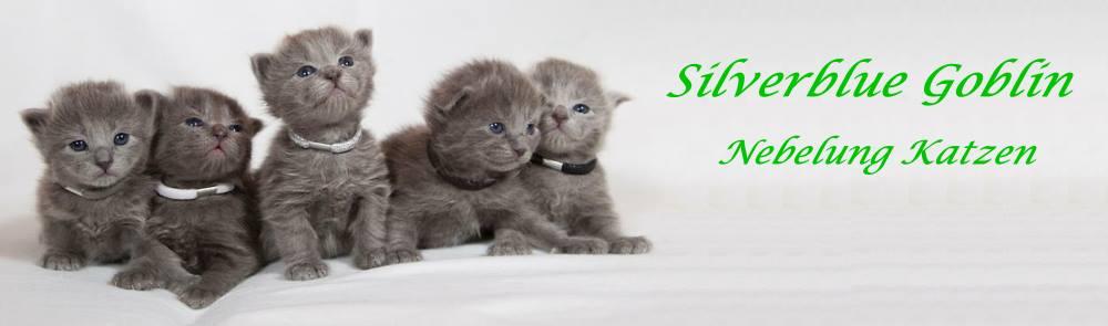 Nebelung Katzen Silverblue Goblin Hobbyuucht Züchter Feuerbach